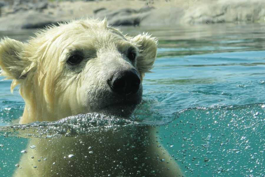 polar bear emerges from Arctic waters